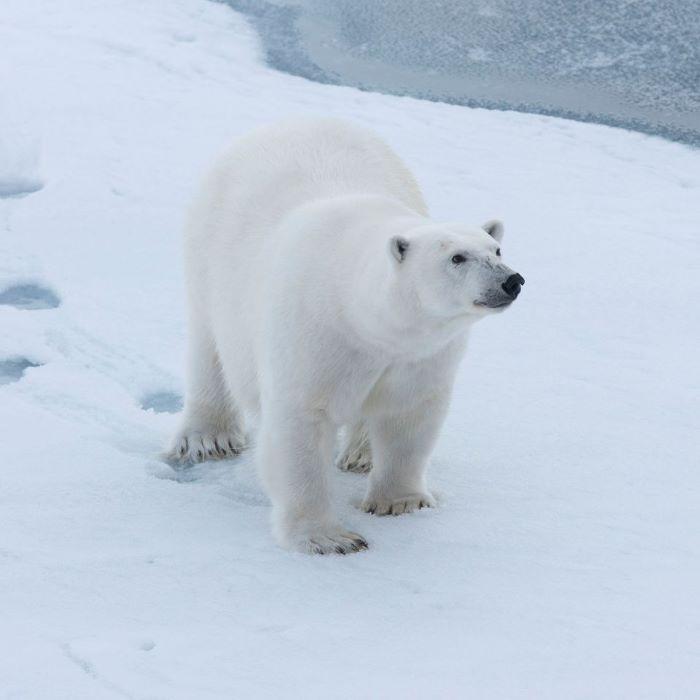 La curiosité de l'ourse gravide. Photo : André de Nord Espaces