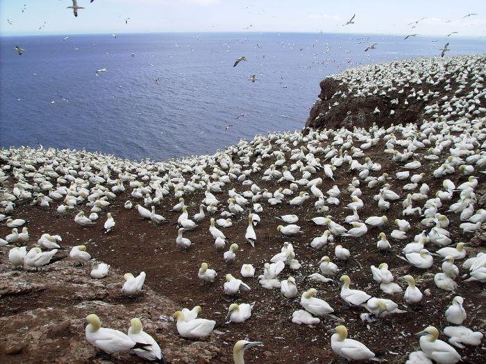 Fous de Bassan sur l'île Bonaventure par Maria Azzurra Mugnai