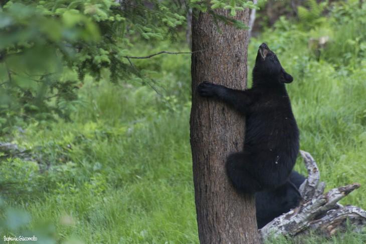 Ours noir au Nouveau-Brunswick, Canada - Nord Espaces