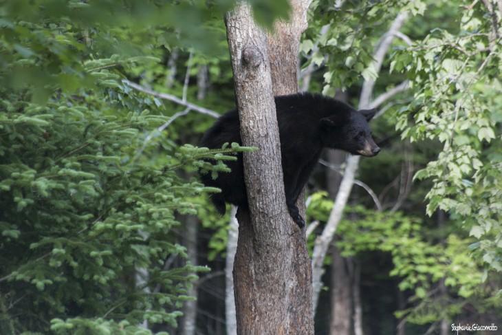 Ours noir, forêt d'Acadieville, Nouveau-Brunswick, Canada - Nord Espaces