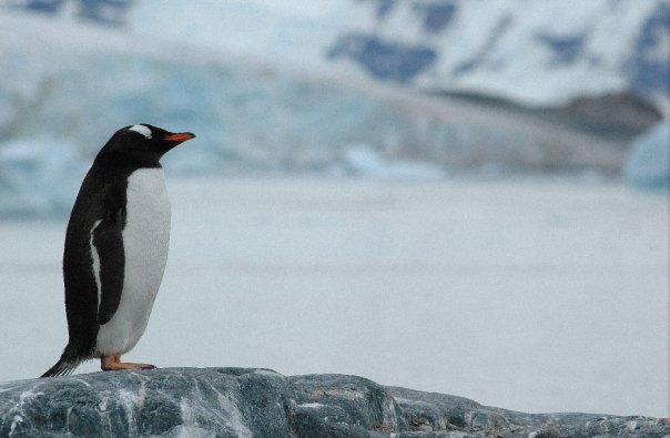 Un manchot papou en Antarctique, photo de Maya A.