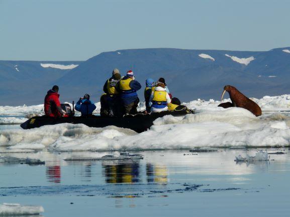 Approche d'un morse près de l'île Wrangel. Photo Nord Espaces