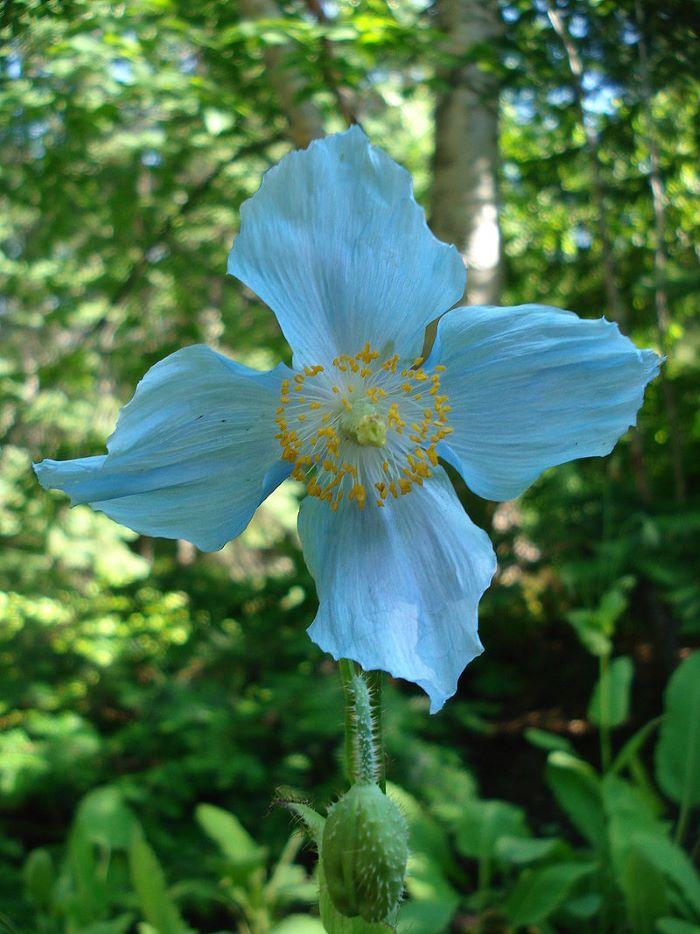 Fleur de pavot bleu de l'Himalaya, emblème des Jardins de Métis, par Gachepi