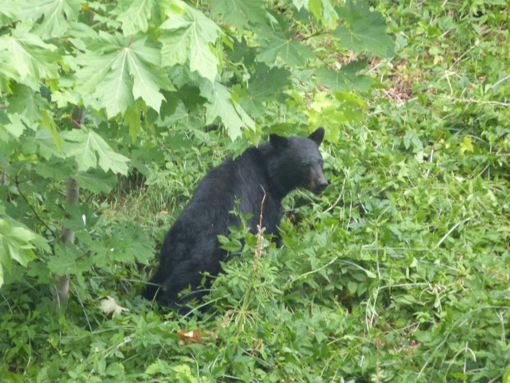 Belle rencontre avec un ours noir. Photo : Natacha de Nord Espaces