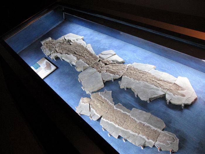 Fossile d'Elpistostege watsoni exposé au parc national de Miguasha. Photo : Placoderm2