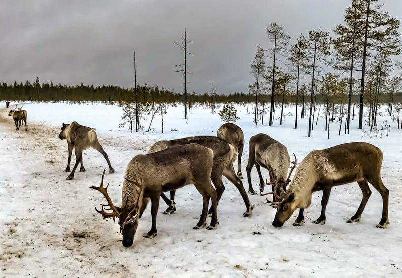 Rennes de l'oblast d'Arkhangelsk, Julia Shilaeva, mars 2020