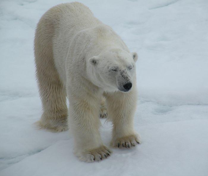 A quoi pense l'ours blanc au Spitzberg ? Photo : Annick et Gérard P.