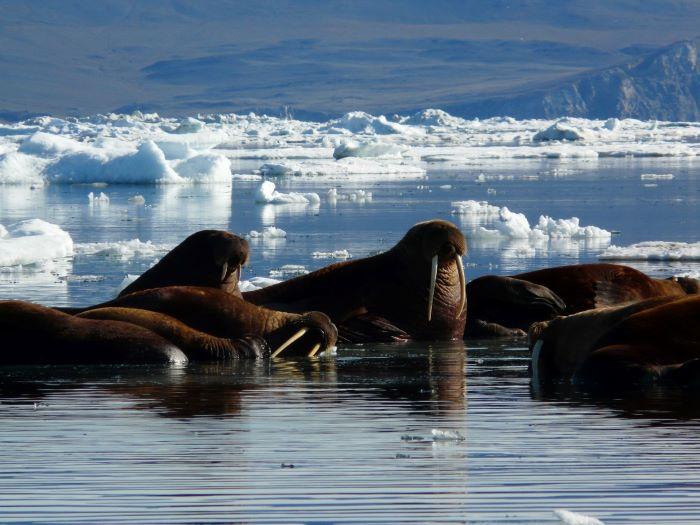 Morses à l'île Wrangel, Tchoukotka. Photo : André de Nord Espaces