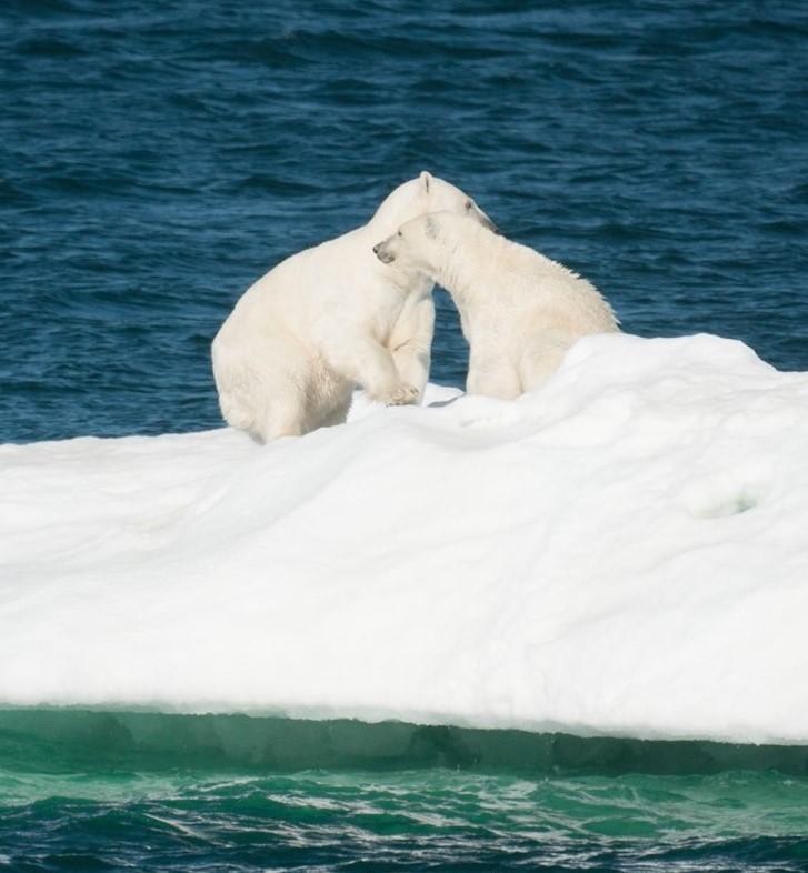 Ours blancs sur la banquise près de l'île Wrangel. Photo : André de Nord Espaces