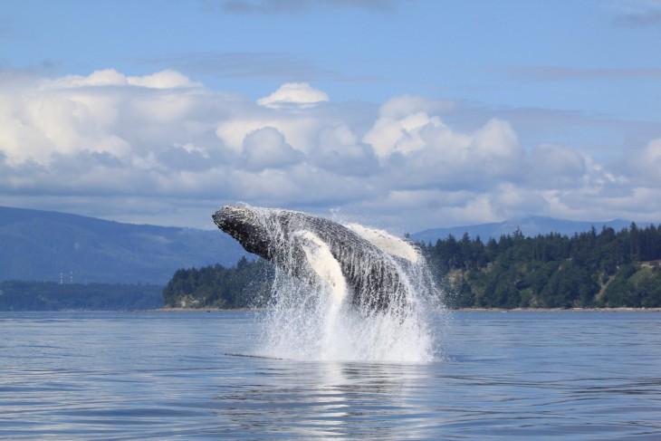 Saut d'une baleine en Colombie-Britannique - Nord Espaces Boréalis