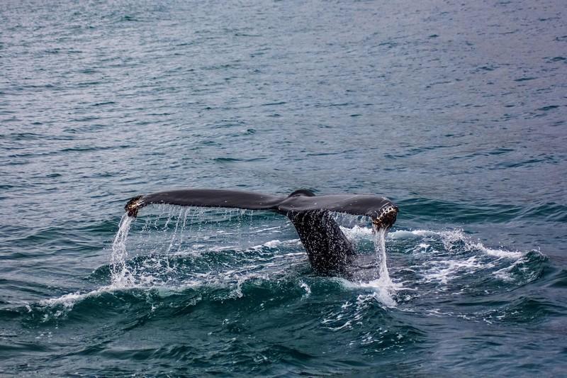 Baleine à bosse près de l'île de Disko, Groenland