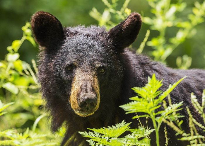 Un ours noir par 272447