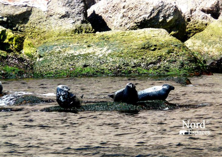 Phoques à l'île de Bonaventure en Gaspésie