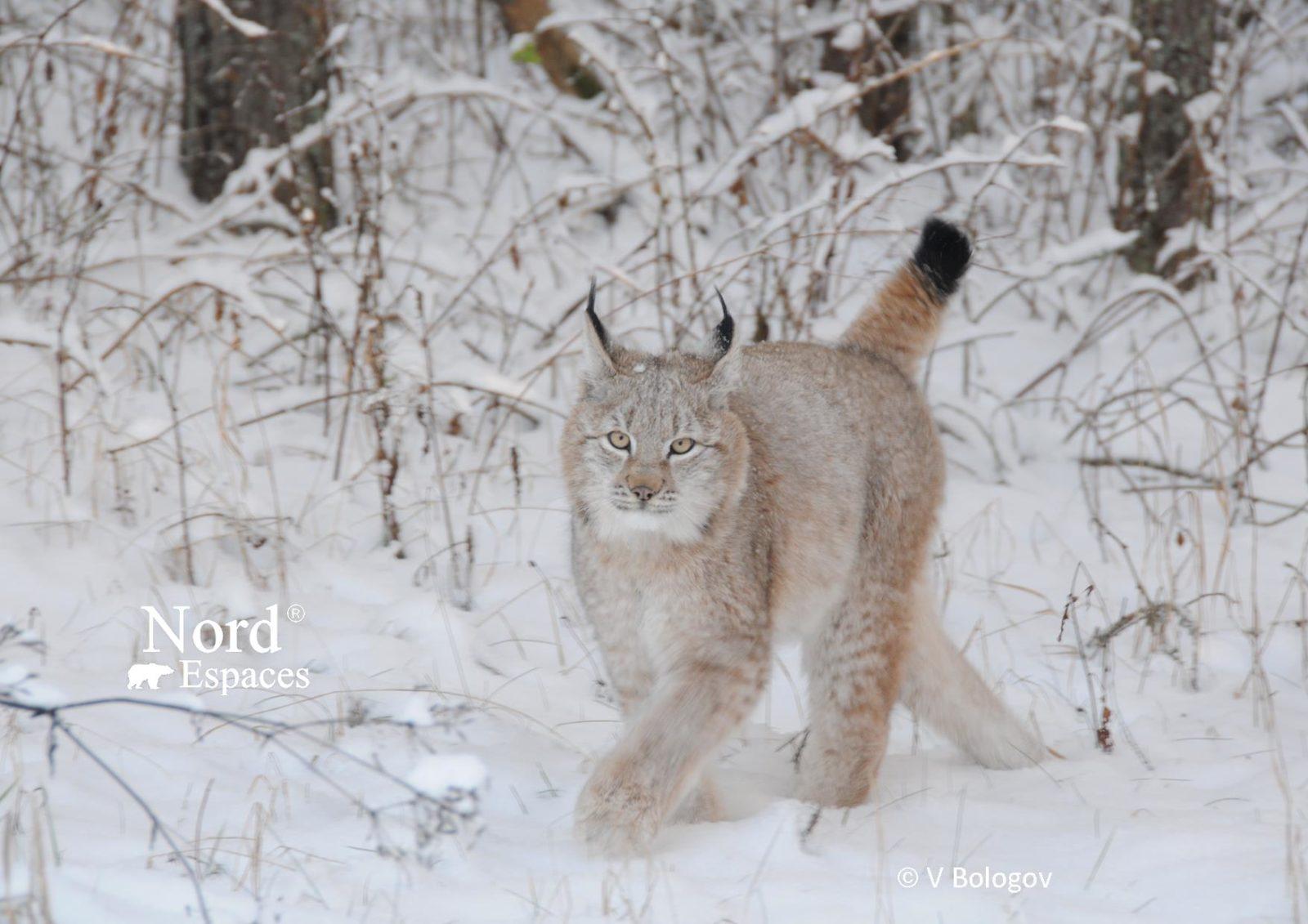 Lynx - Photo V. Bologov