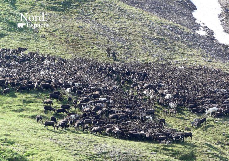Troupeau de rennes au Kamtchatka, Russie