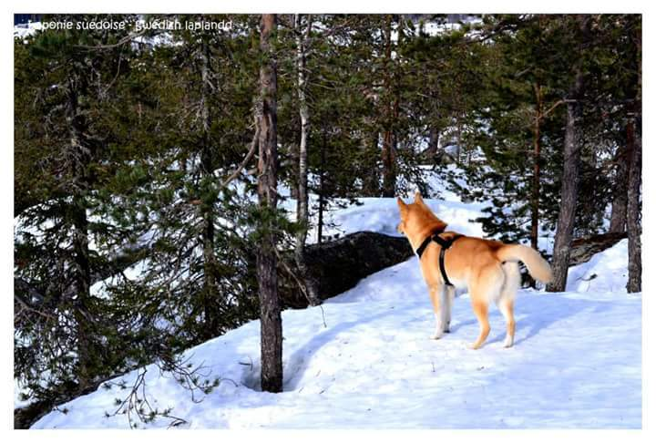 Forêt de Laponie suédoise