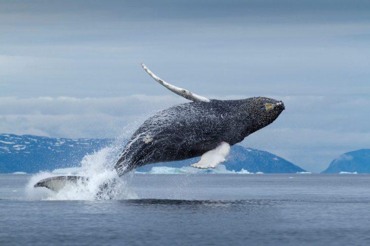 Saut d'une baleine au Groenland - Nord Espaces Boréalis