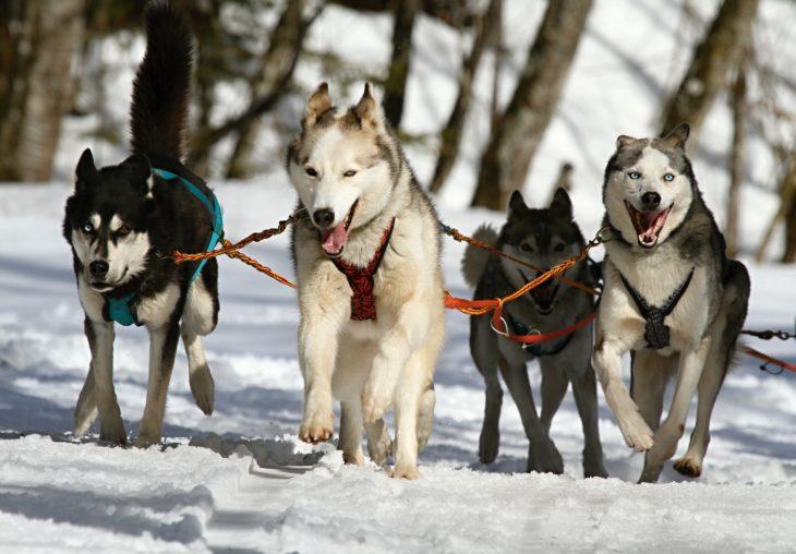 Traîneau à chien en Alaska