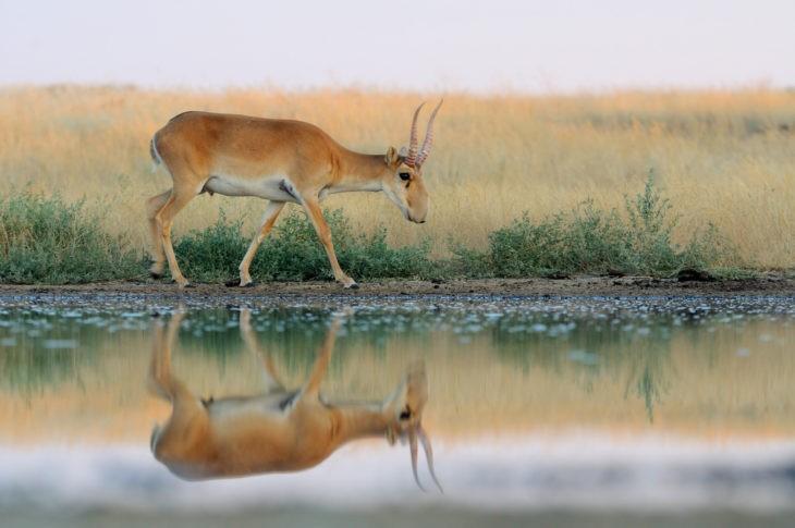 Antilope saïga, Mongolie