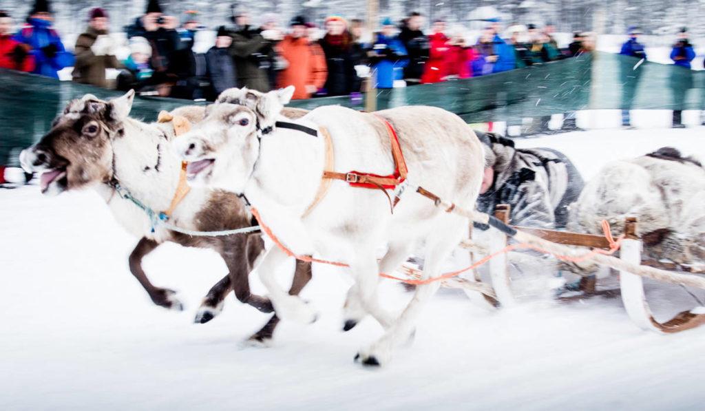 Course de rennes lors du marché d'hiver de Jokkmokk, Suède