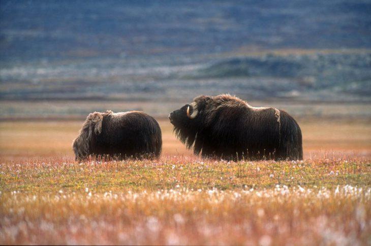 Bœufs musqués dans les environs de Kangerlussuaq, Groenland