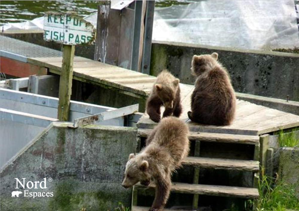 Oursons en Alaska - Nord Espaces