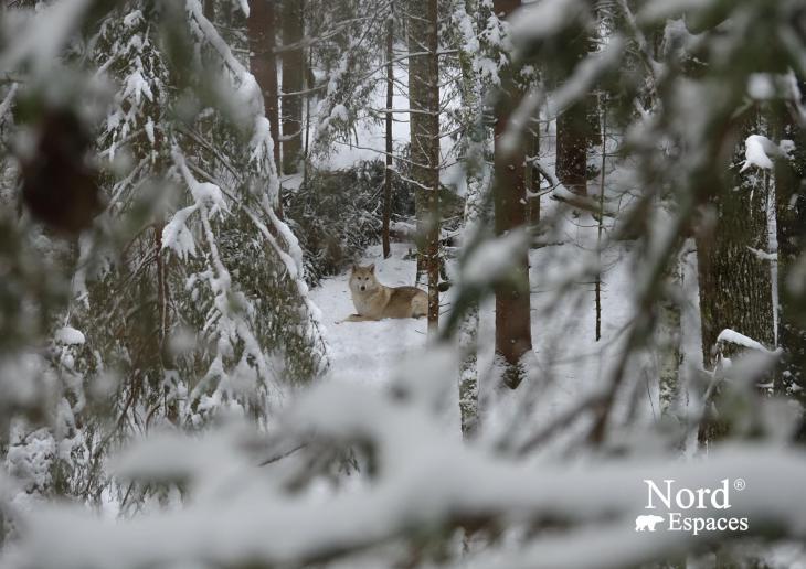 Les loups dans les forêts russes