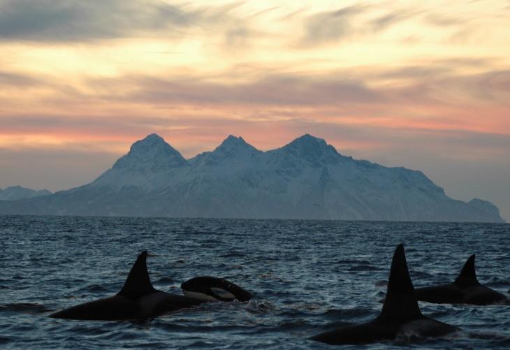 Orques aux Îles Vesterålen à partir du mois de novembre