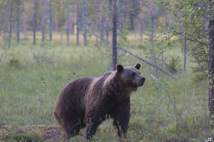 Ours à Kuhmo, Carélie finlandaise