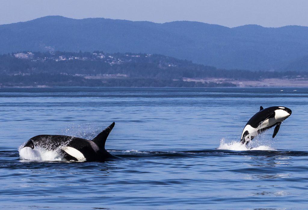 Orques en Colombie-Britannique, Canada
