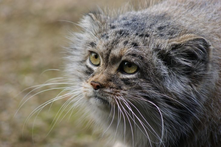 Chat de Pallas en Mongolie