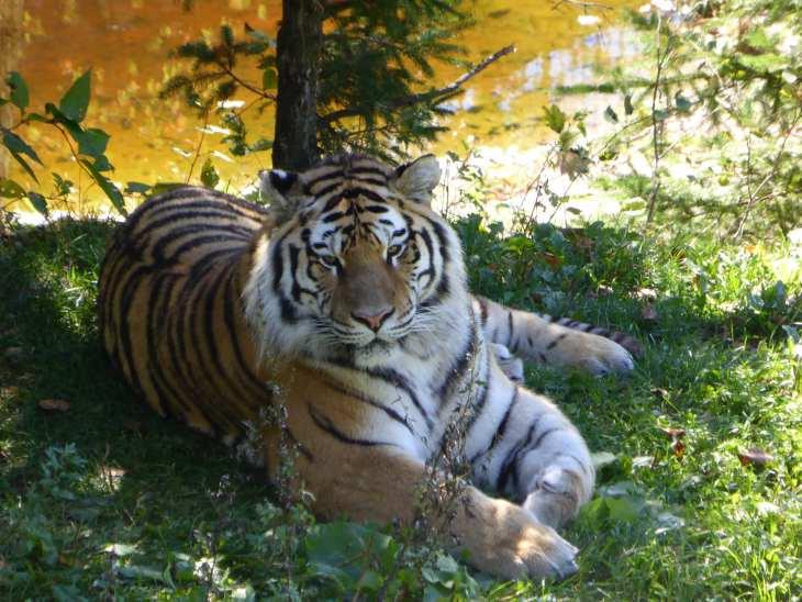 Tigre au parc zoologique de Saint-Félicien, Québec, Canada - Nord Espaces
