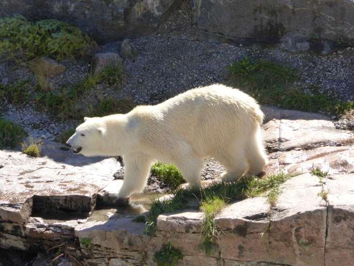 Ours polaire au parc zoologique de Saint-Félicien, Québec, Canada - Nord Espaces