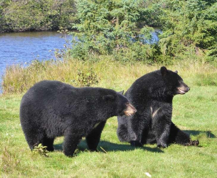 Ours noirs au parc zoologique de Saint-Félicien, Québec, Canada - Nord Espaces