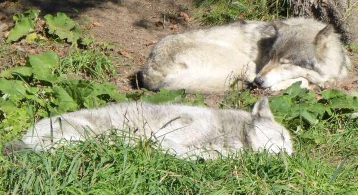 Loups au parc zoologique de Saint-Félicien, Québec, Canada - Nord Espaces