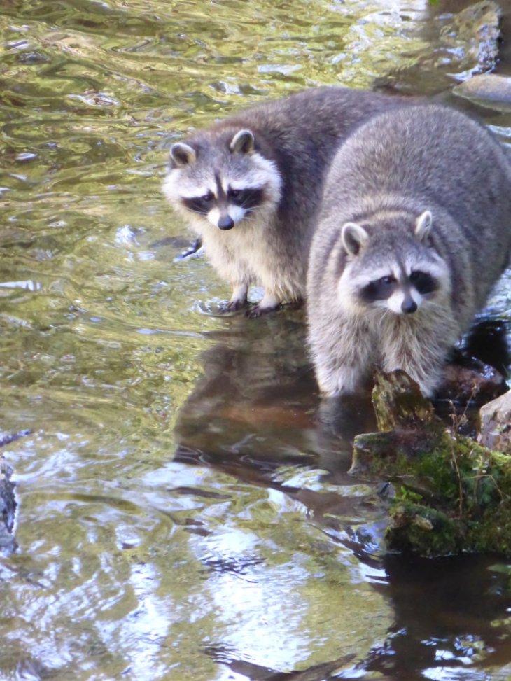 Ratons laveurs au parc zoologique de Saint-Félicien, Québec, Canada - Nord Espaces