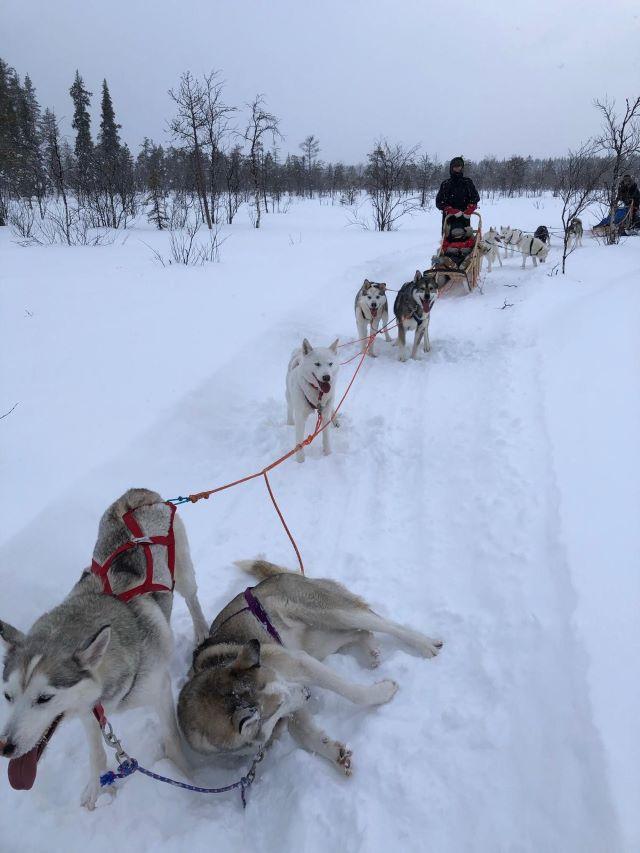 Traîneau à chiens en Laponie. Photo Brigitte B., février 2021