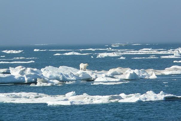 Ours polaire sur la banquise près de l'île Wrangel. Photo Nord Espaces