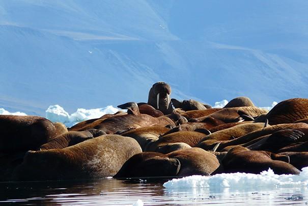Morses à l'île Wrangel. Photo Nord Espaces
