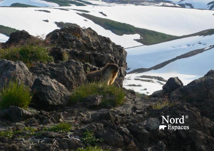 Marmotte au volcan Moutnovsky, Kamtchatka - Nord Espaces