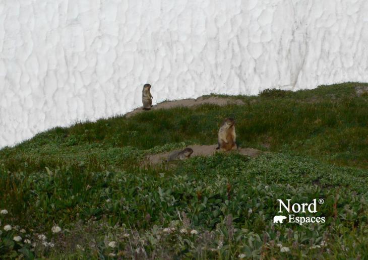 Marmottes au volcan Moutnovsky, Kamtchatka - Nord Espaces